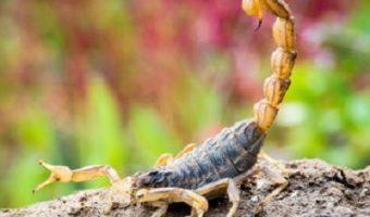 Bahia registra aumento de 50,6% em três anos em ataques de escorpiões