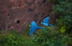 33 300x194 - Arara considerada extinta volta à caatinga ao lado de onças e outras espécies ameaçadas - o tempo jornalismo