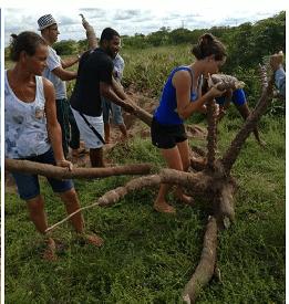 gp - Aipim gigante surpreende agricultores do interior da Bahia - o tempo jornalismo