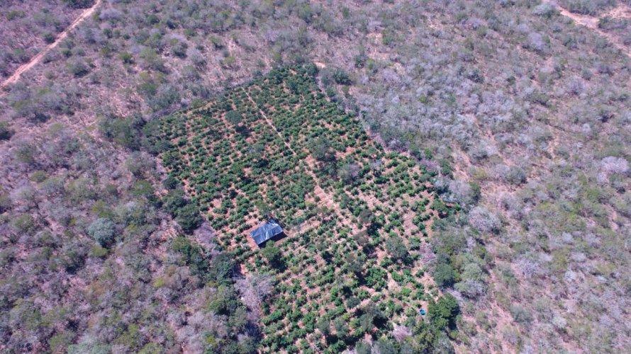 Drone localiza cerca de 40 mil pés de maconha em Canudos